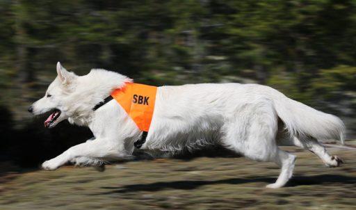 Vit herdehund uppletande. Foto: Gunilla Andersson
