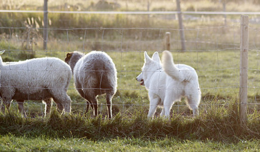 Vit herdehund vallning. Foto: Gunilla Andersson