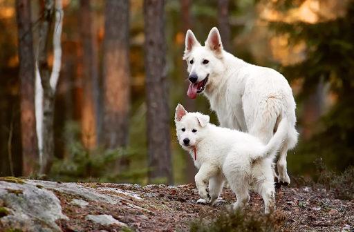 Vit herdehund tik med valp