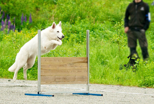 Vit herdehund lydnad. Foto: John-Arne Pettersen