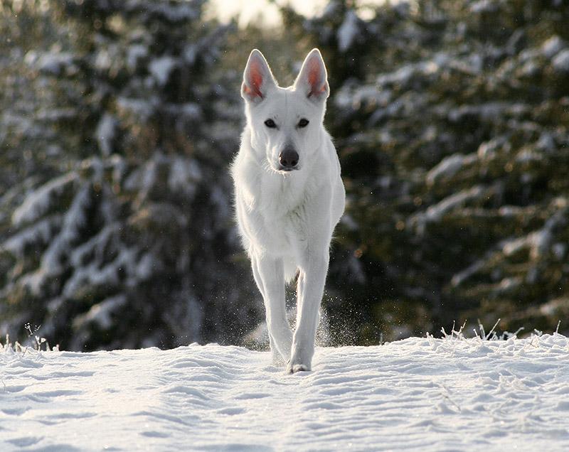 Vit herdehund