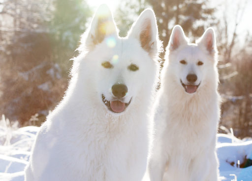 aktivitetsombud vit herdehundklubb